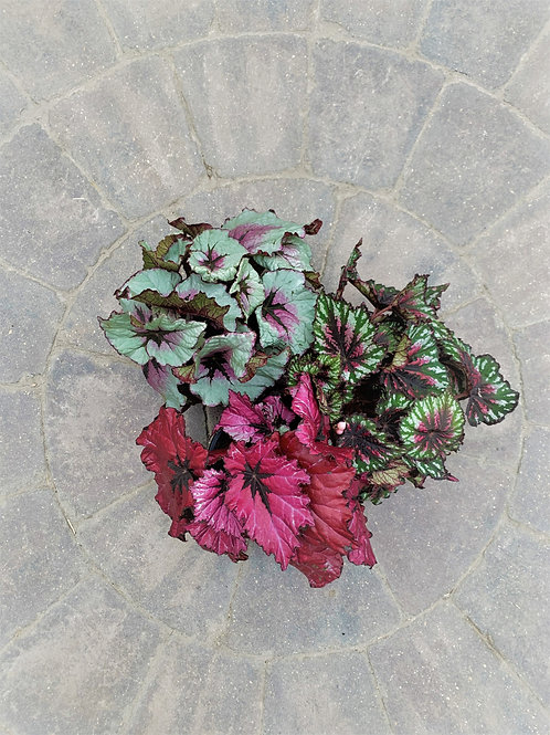 "Begonia - T-Rex 6"" Assorted"