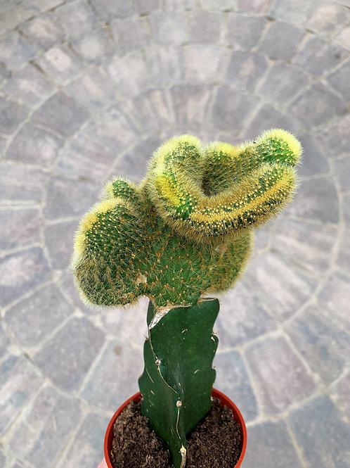Disocactus Flagelliformis - Rattail Cactus