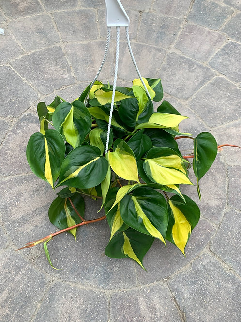 "Philodendron - Brazil 8"" Hanging Basket"