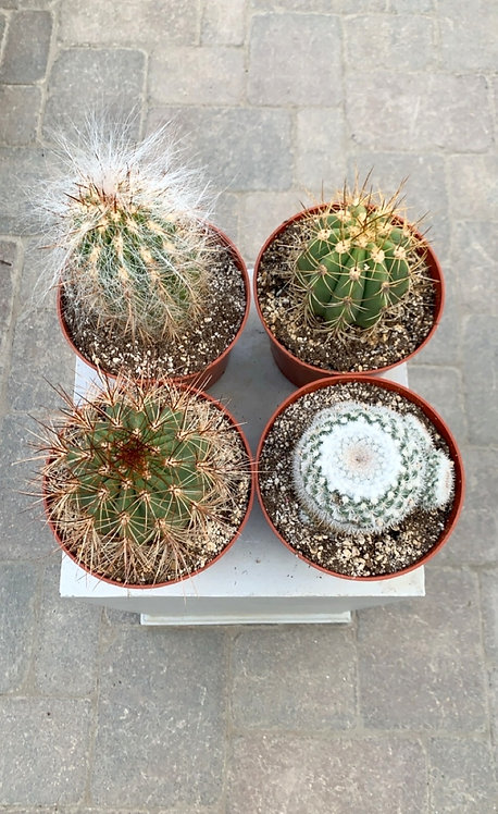 Cacti - Assorted 6""