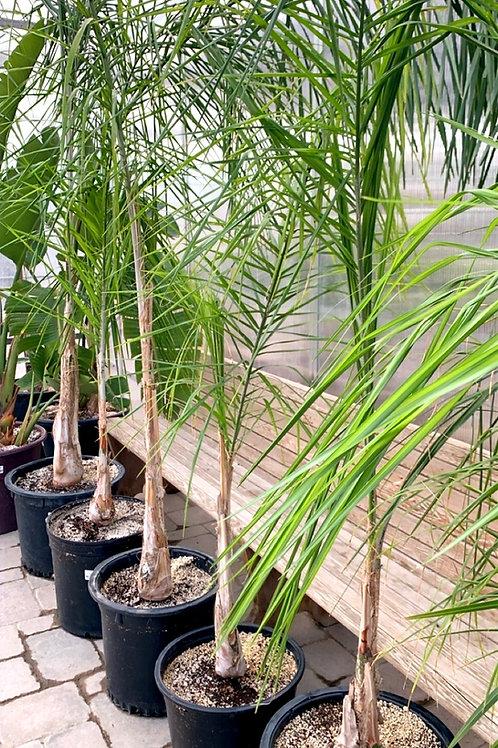 Syagrus Roman - Queen Palm
