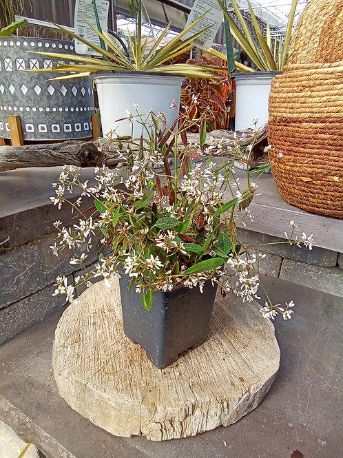 Euphorbia - Soft Pink