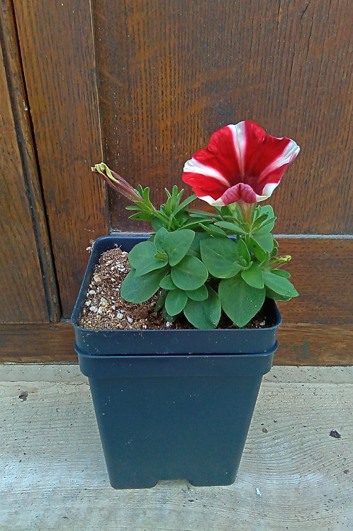 Petunia - Peppy Red