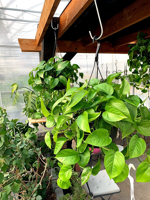 Pothos - Assorted Hanging Basket