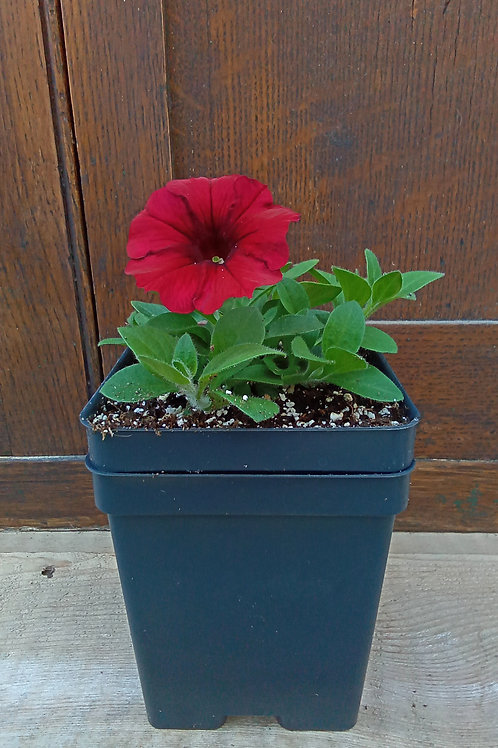 Petunia- Easy Wave Collection