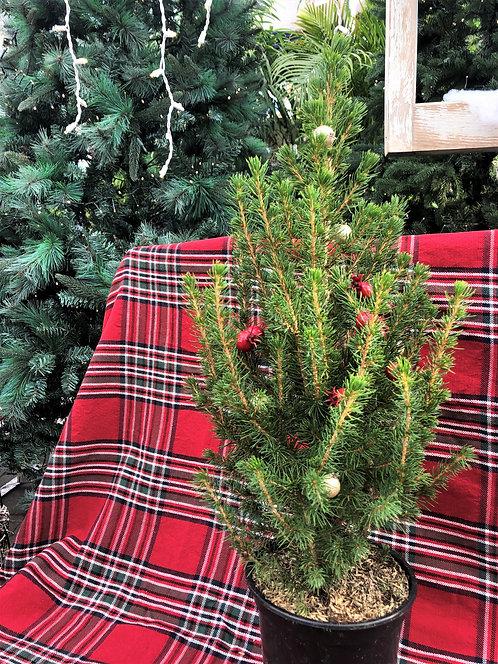 """Picea Glauca Conica - Alberta Spruce 6"""""""