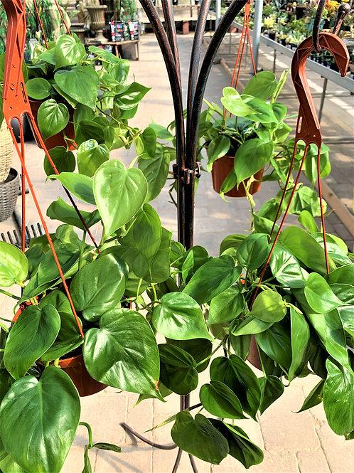 "Philodendron Cordatum - 8"" Hanging Basket"