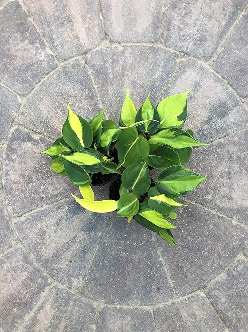 "Philodendron Cordatum - Brazil 4"""
