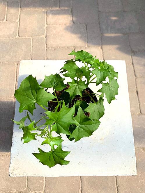 """Delairea Odorata - German Ivy 4"""""""