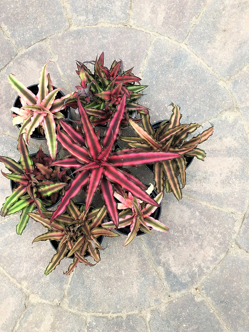 Cryptanthus - Earth Star Assorted