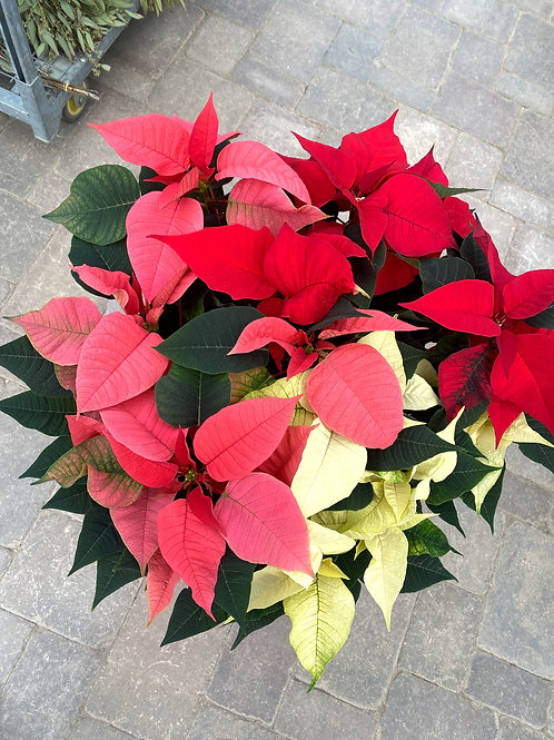 Tri Color Poinsettia 10""