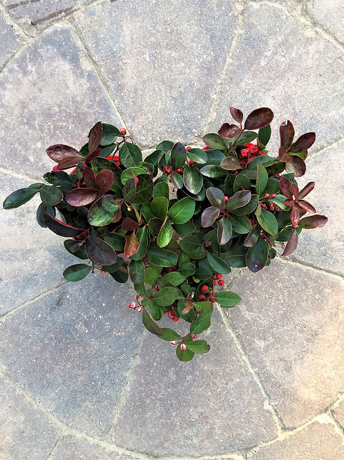 "Gaultherira - Winterberry 4"""
