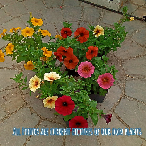 Petunia- Petchoa Supercal Collection