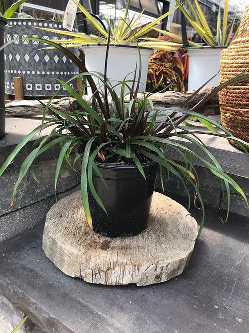 Grass - Pennisetum Vertigo