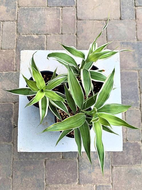 """Dracaena - Ribbon Plant 4"""""""