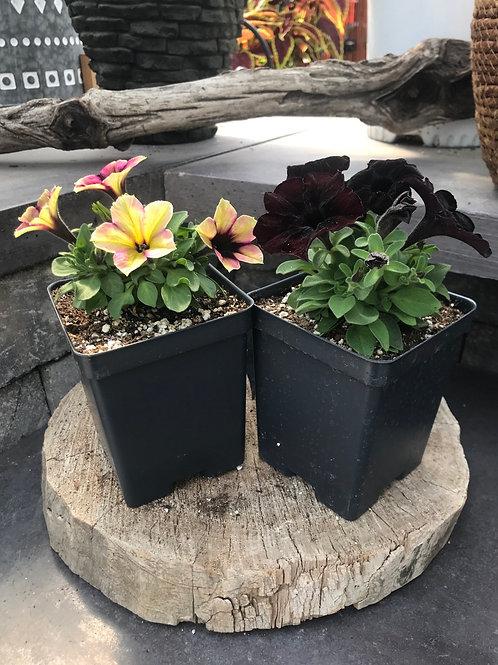 Petunia - Crazytunia Collection