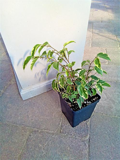 """Ficus - Weeping Fig 4"""""""