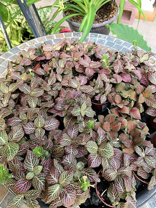 "Fittonia - Nerve Plant 2.25"""