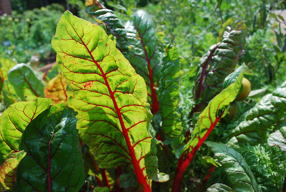 KramerKelly-swiss chard.jpg