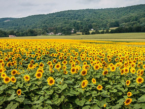 Dreaming of Sunflowers and Snakes...