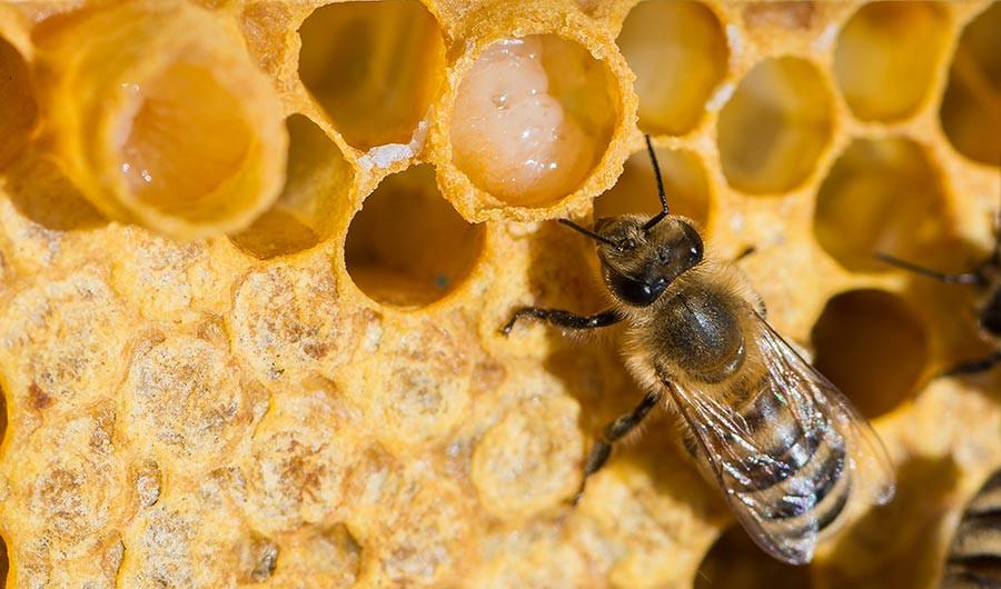 bite, bišu māšu peru pieniņš