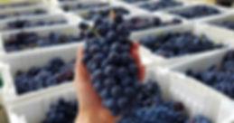 pol winery grapes.jpg