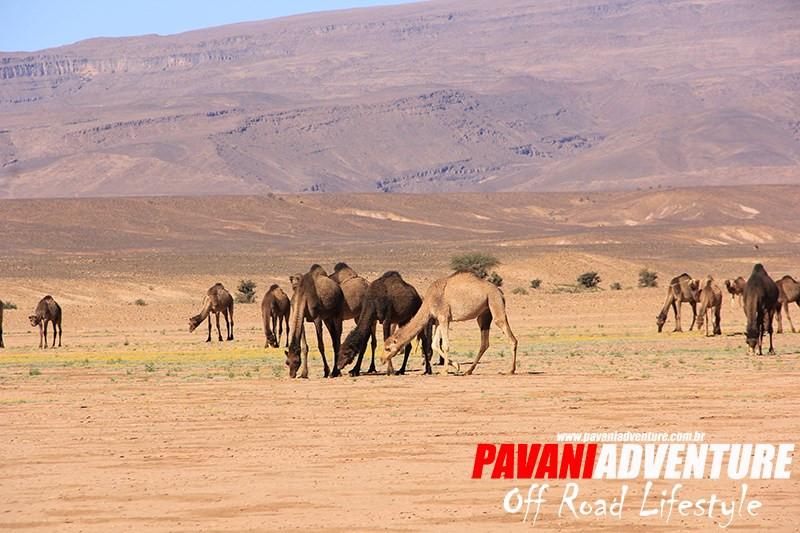 Expedição_Off_Road_Marrocos_camelos.jpg