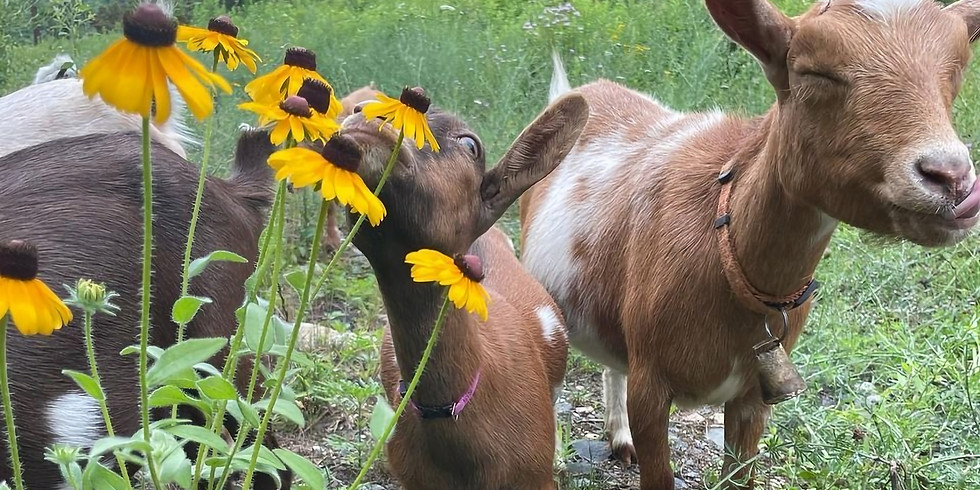 Come Play with the Goats!