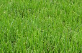 Zoysia+grass.jpg