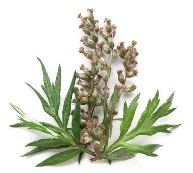 Mugwort In the United States