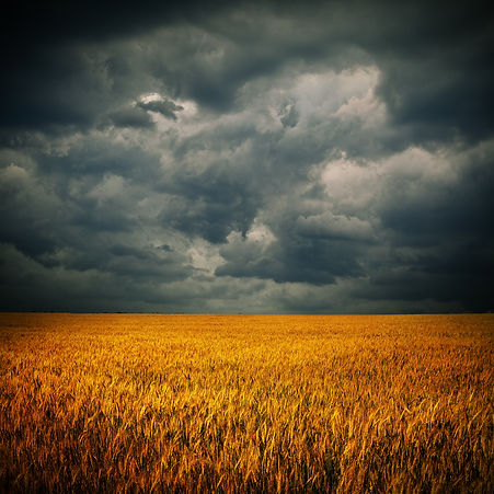 Dark stormy clouds over wheat field. Squ