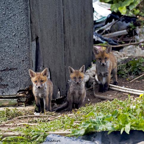 Three fox cubs