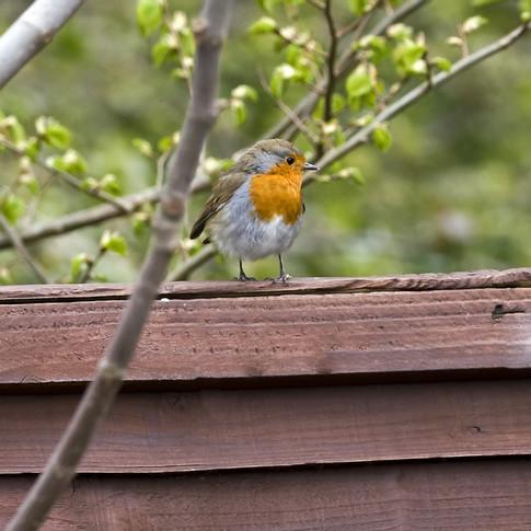 Robin on the fence.jpg