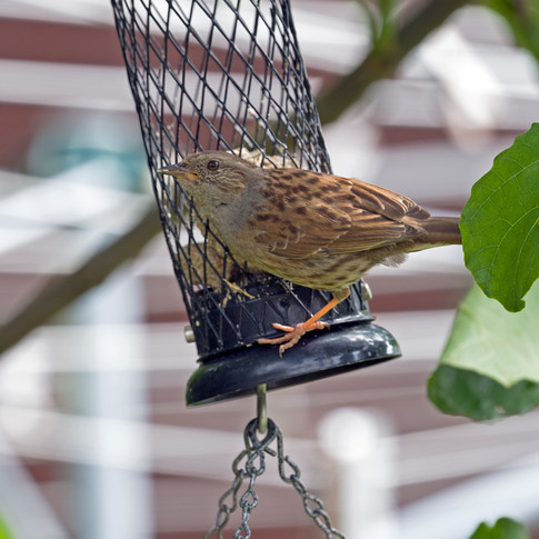 Young songthrush query 2.jpg