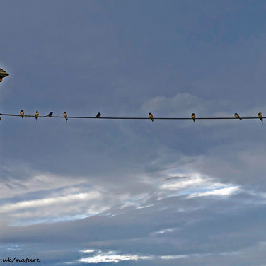 Swallows on the telephone line