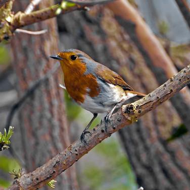 Robin in the elderberry tree 1