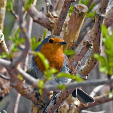Robin in the elderberry tree 3