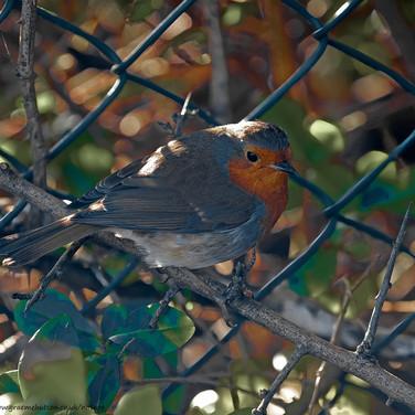 Robin on thorn bush