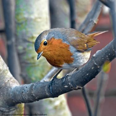 Robin, left profile