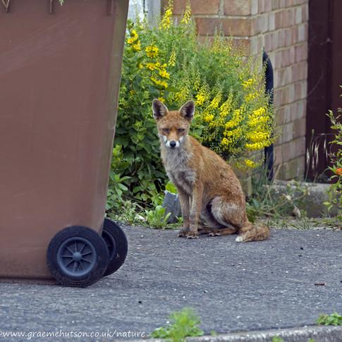 c Neighbourhood fox 2.jpg