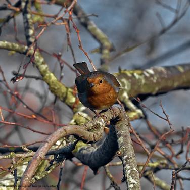 Robin - face on