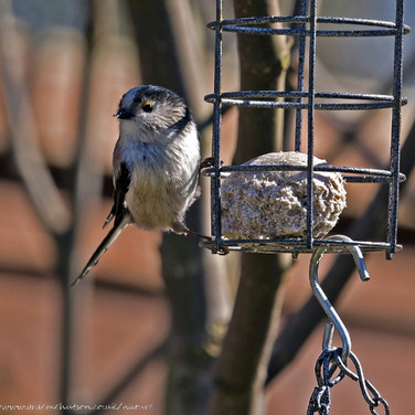 Long tailed tit on fatball feeder