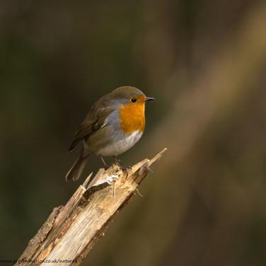 Robin on broken branch
