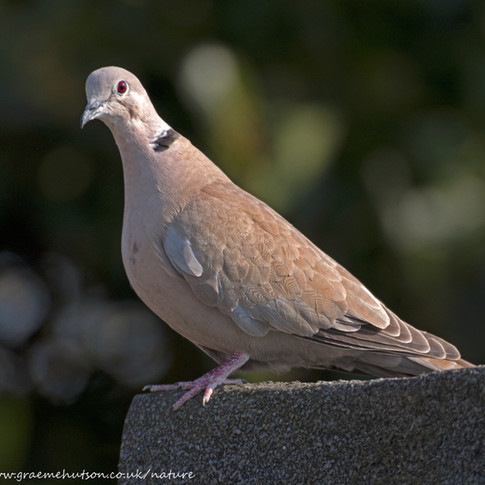 Collared dove on garage roof