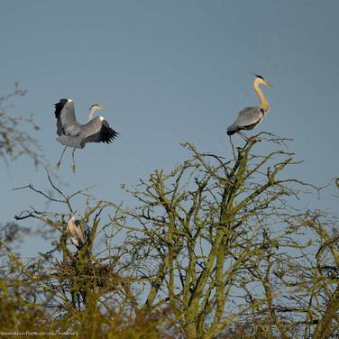 Heron in the treetops