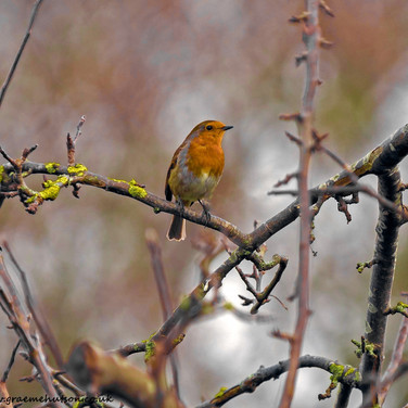 Boxing Day robin