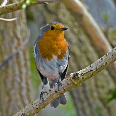 Robin in the elderberry tree 2