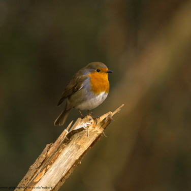 Robin on snapped branch