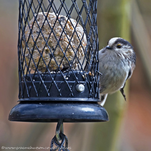 Long tailed tit on feeder 160421