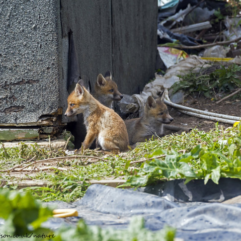 Fox cubs profiles, uncropped